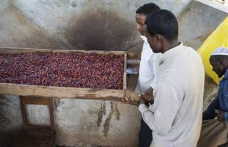 Kaffeekirschen in der Wetmill