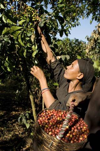 Kaffeefarmerin erntet reife Kaffeekirschen von Hand