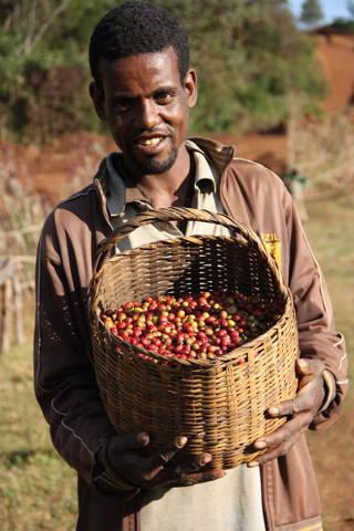 Die Kaffeekirschen nach der Ernte