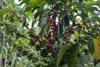 Kaffeesträucher werden bis zu 3,5 Meter groß und kommen in wilder Form nur noch in Äthiopien vor.