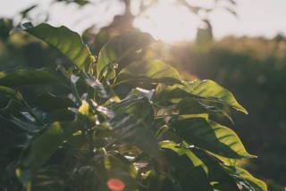 Kaffeeland Brasilien