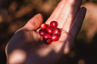 Hand mit Kaffeekirschen Santuario Sul