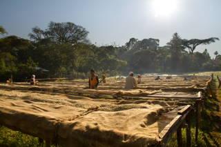 Drying Beds zum Trocken der Kaffees im äthiopischen Hochland