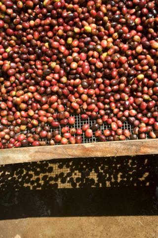 Kaffeekirschen in Äthiopien