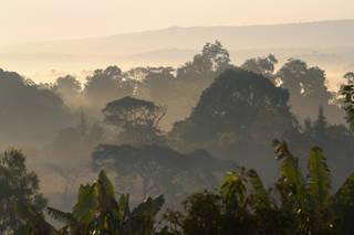 Mischwälder sind beim Kaffeeanbau von Vorteil