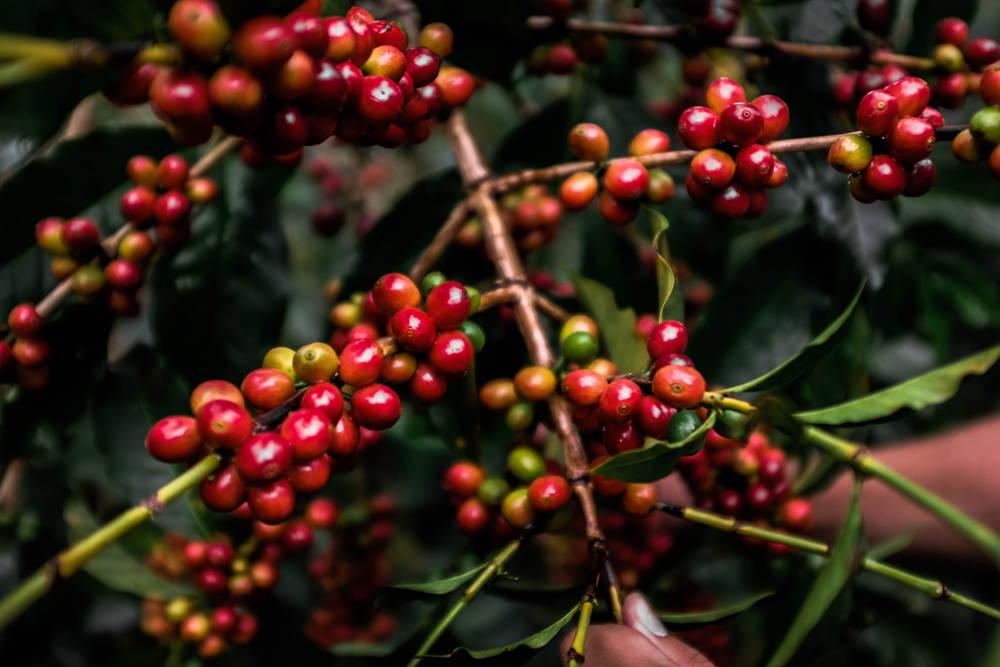 Reife Kaffeekirschen