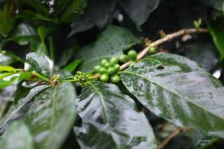 Der Kaffeeanbau in Kolumbien