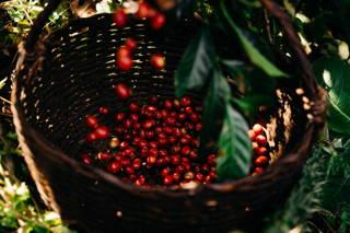 Kaffeekirschen in den Bastkörben