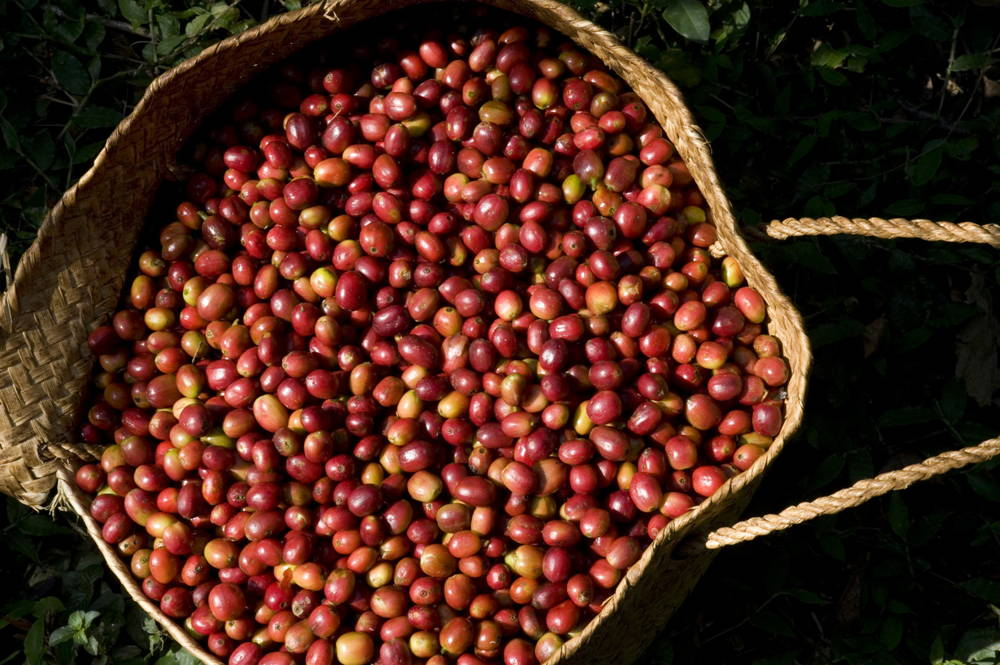 Kaffeekirschen im Technoserve, Aethiopien