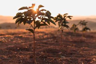 Kaffeepflanze Brasilien Santuario Sul
