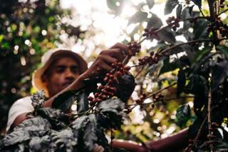 Ernte der Kaffeekirsche