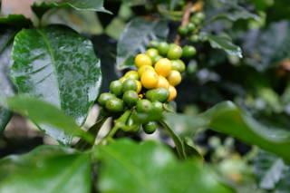 Kaffeekirsche Kolumbien