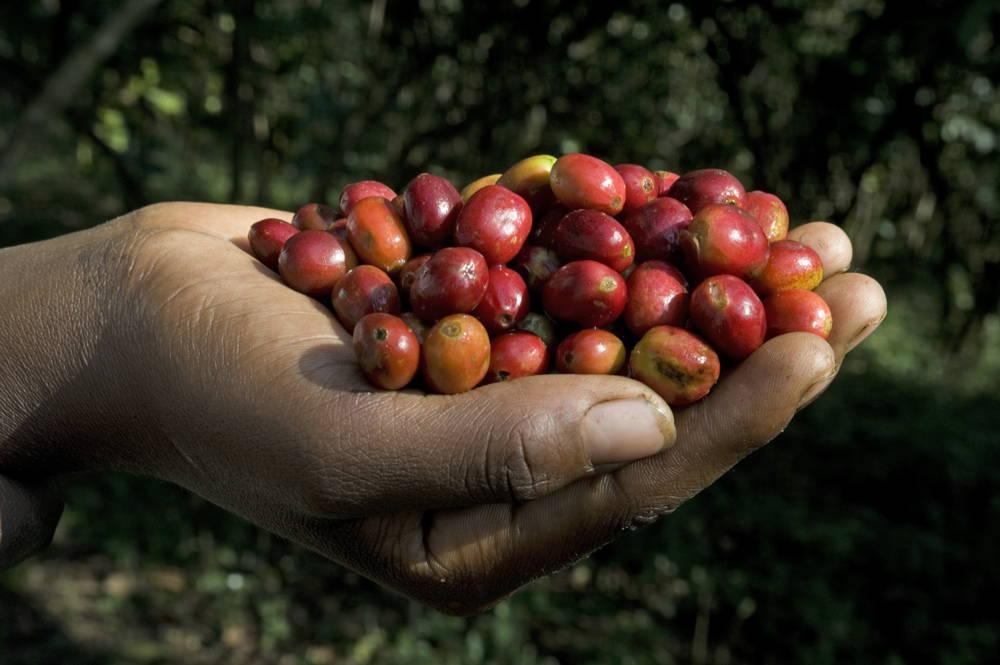 Kaffeeernte in Äthiopien